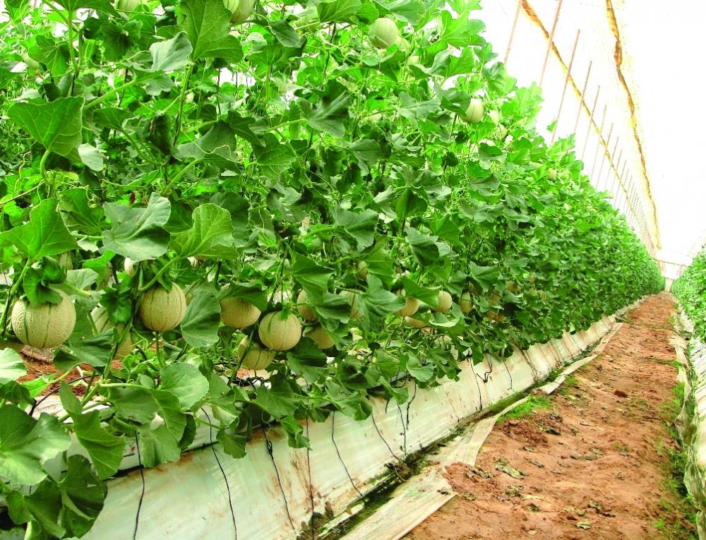 Melone in verticale doppie rese colture protette for Pianta di melone