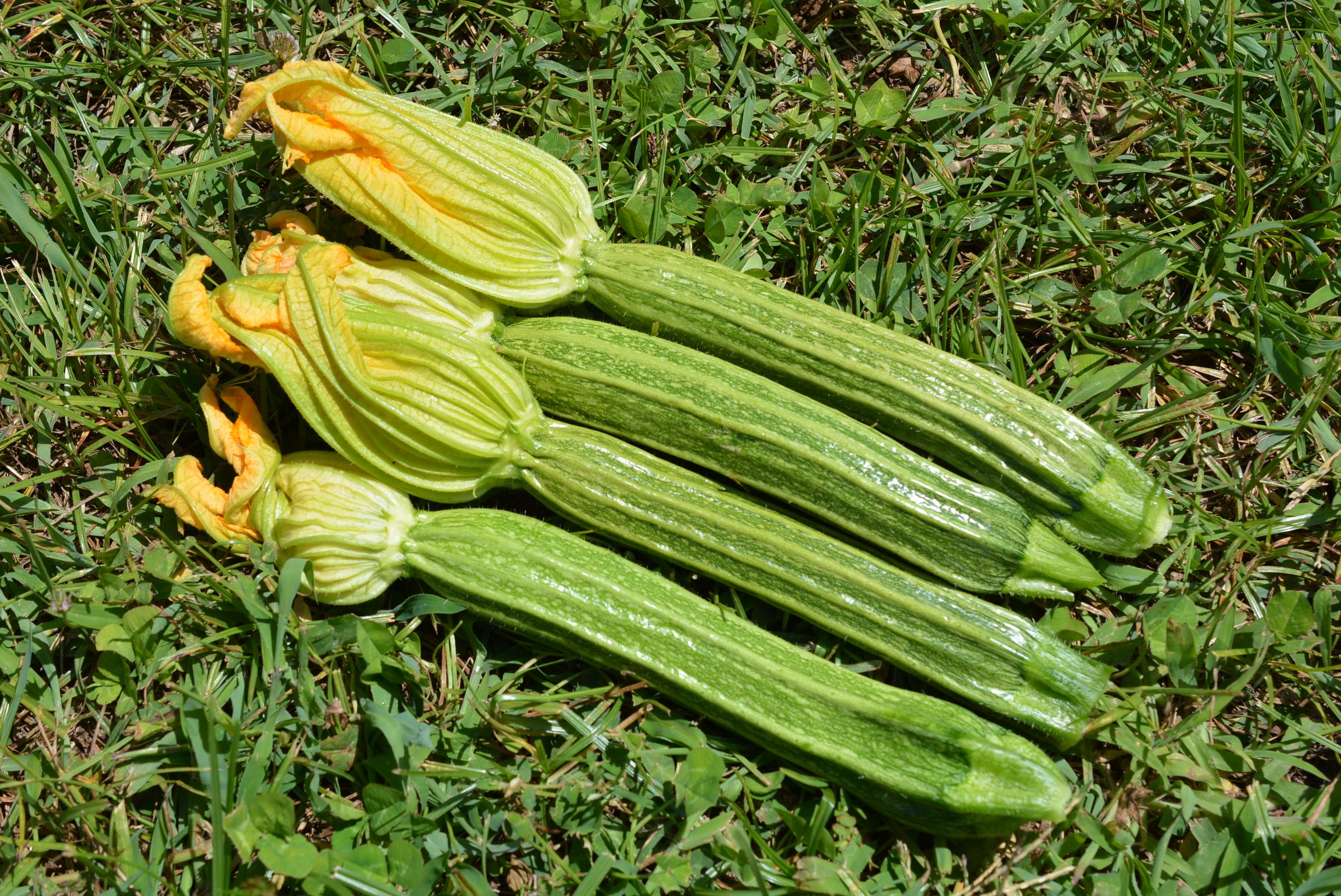 Varietà Zucchine Da Fiore zucchino, le nuove varietà 2015
