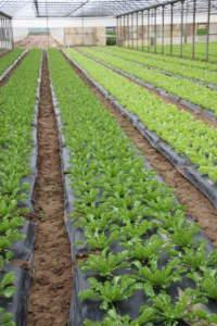 Produzione di Indivia riccia su terreno coperto con telo pacciamante Ecovio