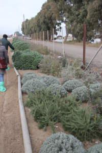 Flower strip con essenze mediterranee per favorire la presenza di api e insetti impollinatori.