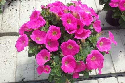 Petunia, nuove varietà  da seme e da talea
