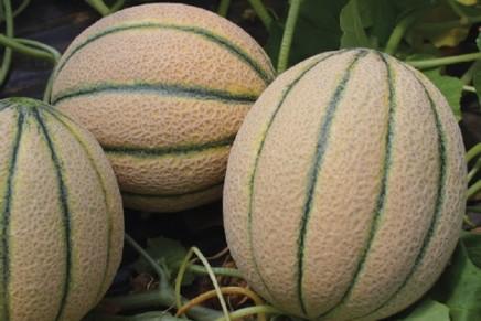 Melone biologico, le tecniche e gli ausiliari