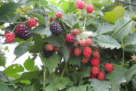 Piccoli frutti, possibilità per la difesa sostenibile