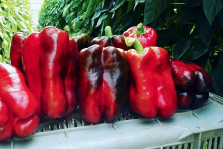 Peperone, le ultime novità varietali del 2016