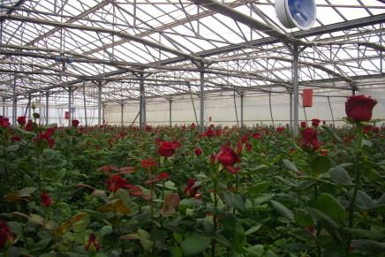 Fuori suolo per la rosa