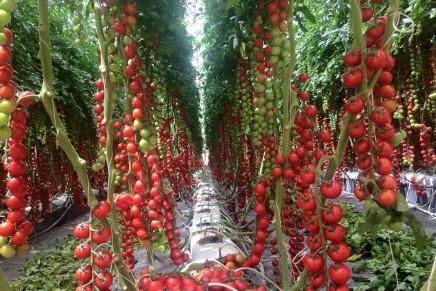 In continua evoluzione il pomodoro da mensa