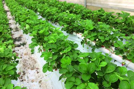 Fragola, coltivare in Sicilia con la tecnica del fuori suolo
