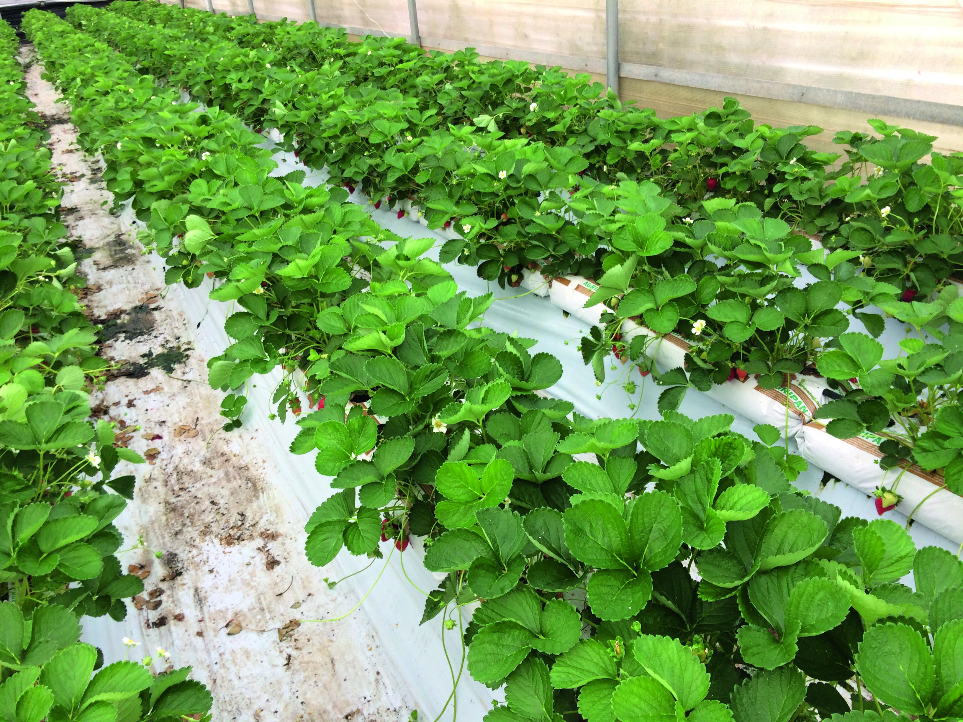 Coltivare Lamponi In Vaso coltivare in sicilia con la tecnica del fuori suolo