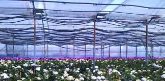 mercato, floricolo, gerbere, orternsia, reciso