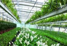 spatiphyllum in serra
