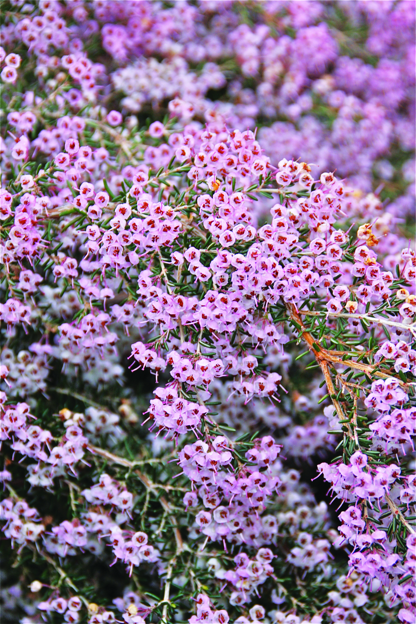 Piante Da Bordura Giardino erica, per decorare il giardino anche d'inverno