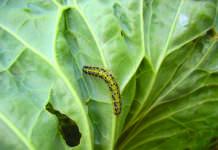 Cavolaia brassicacea