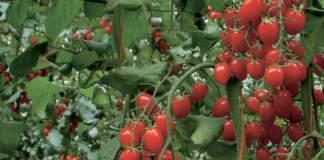 novità varietali pomodoro