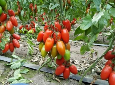 pomodoro sostenibile