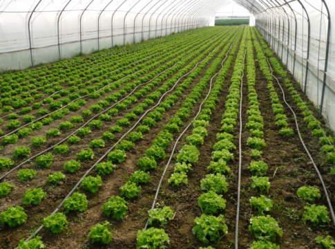 fertilizzazione insalate