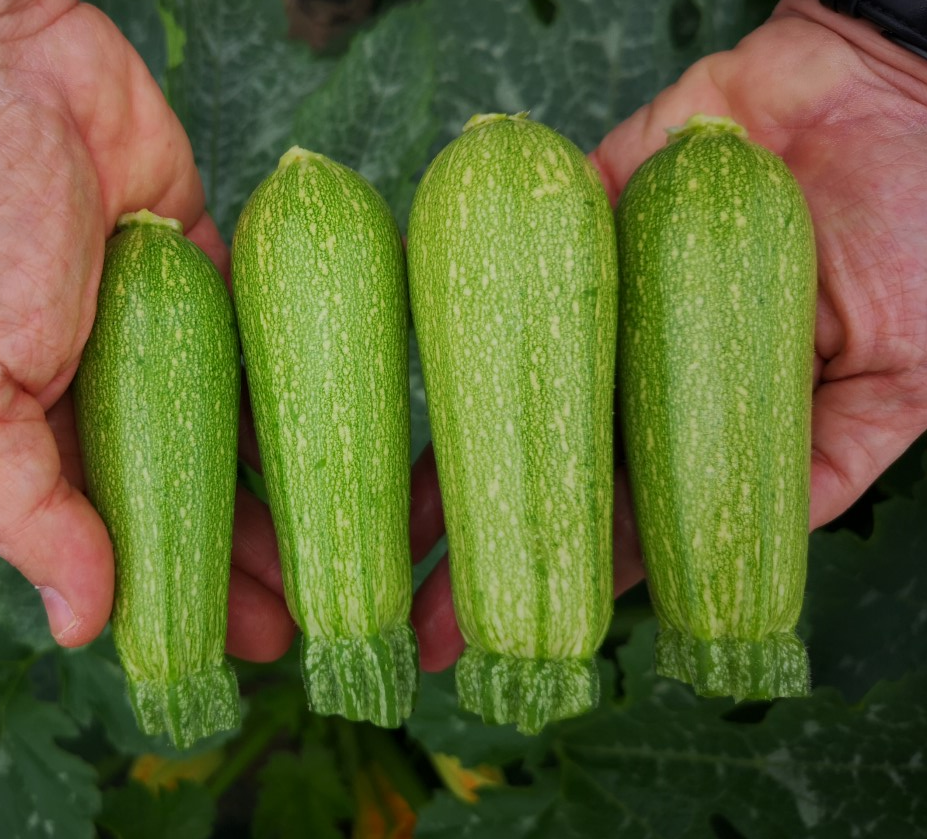 varietà zucchino