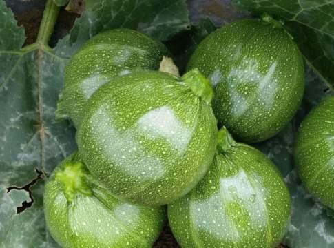 novità varietali di zucchino