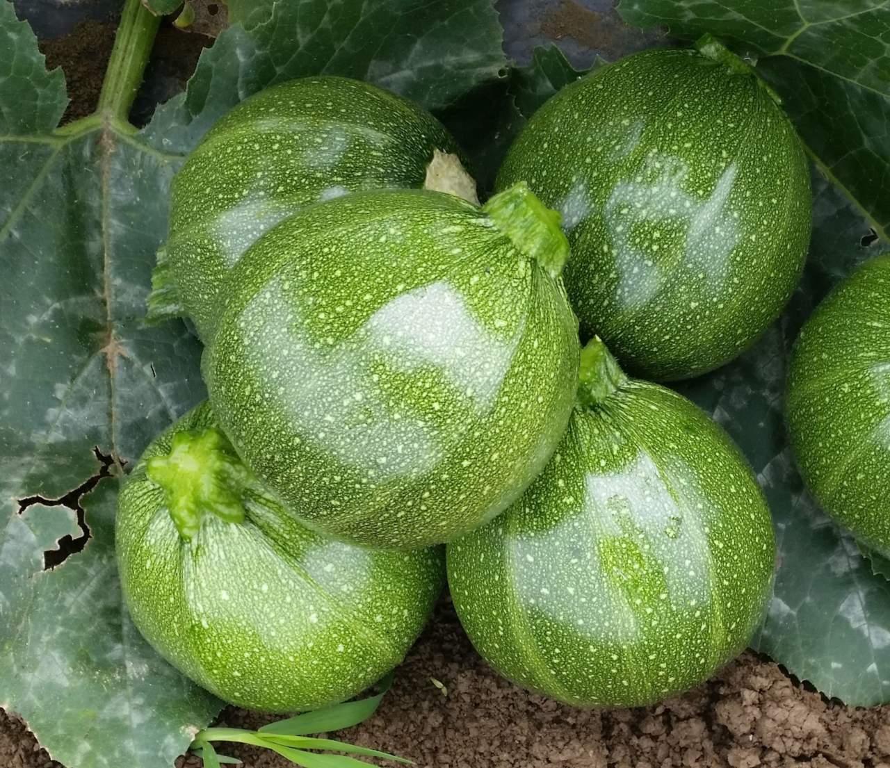 Varietà Zucchine Da Fiore novità varietali di zucchino per il 2019 - colture protette