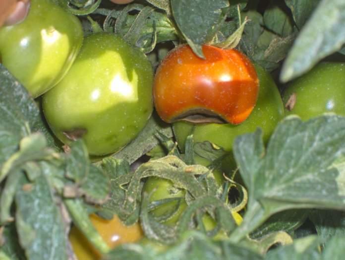 fertilizzazione pomodoro