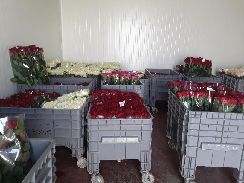 luce diffusa su rose