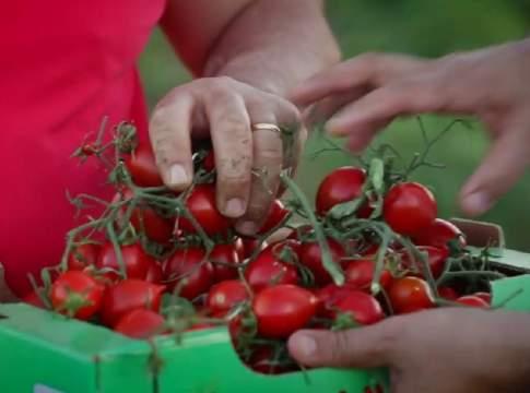 pomodoro di Licata