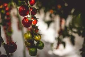 pomodoro siciliano