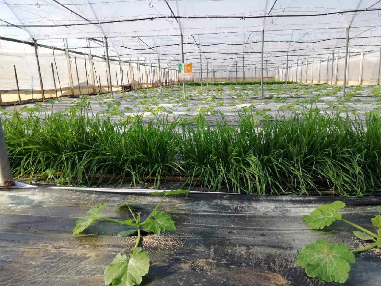 difesa zucchino koppert