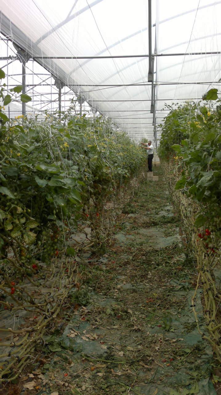 Operazioni colturali pomodoro