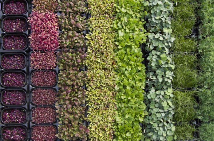 sementi di qualità