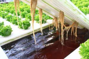 lattuga fuori suolo