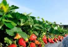 fragola superfici coltivate