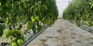 covid colture protette