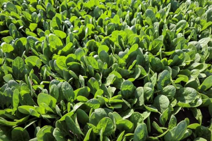 peronospora spinacio