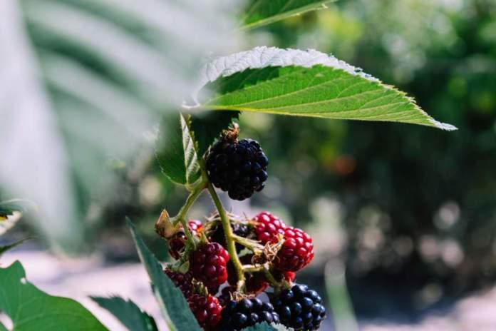 Macfrut 2021 piccoli frutti