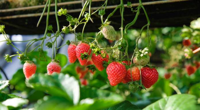 fragole in aumento