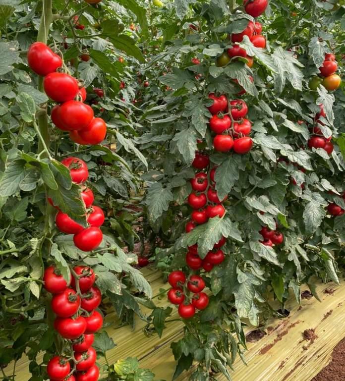 pomodoro basf varietà syrope